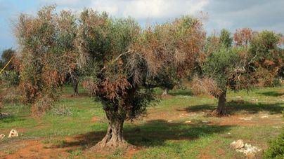 Imagen de un olivo afectado por la enfermedad