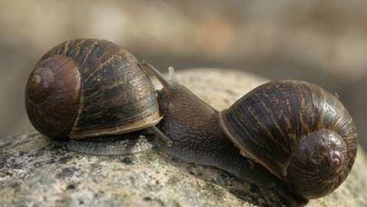 Hallan en Menorca un caracol zurdo único en el mundo