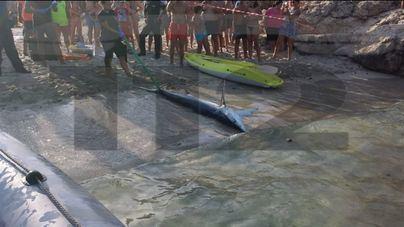 El tiburón de Calas de Mallorca murió por inanición y tenía clavado un aguijón en el hocico