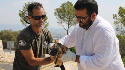 La población del milano real crece en Balears con 48 nuevas crías