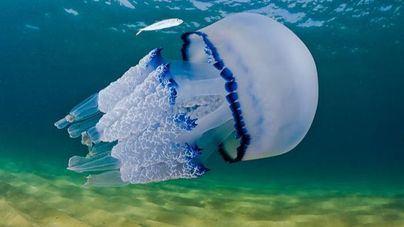 Medusas en el mar Mediterráneo: estresadas y más urticantes