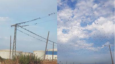 """Cazadores piden a Cort que permita la caza por la """"sobrepoblación"""" de palomas torcaces"""