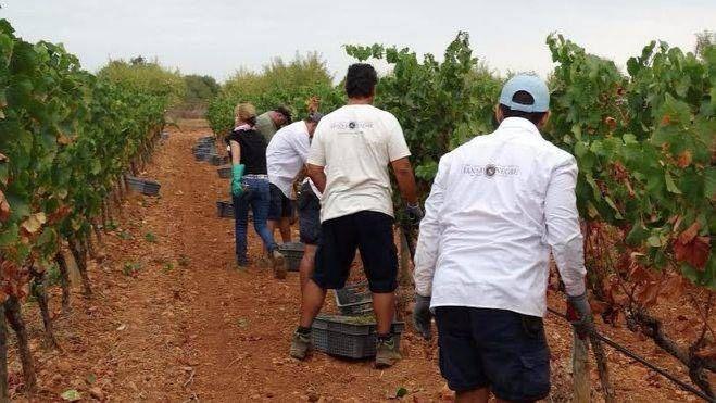 Se inicia la vendimia de la DO Binissalem con las variedades de Moscatel y Chardonay
