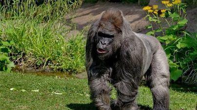 Muere 'Fritz', el gorila más viejo de Europa