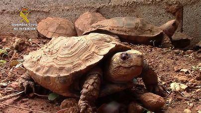 Desmantelada una de las mayores organizaciones de tráfico ilegal de tortugas