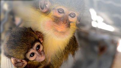 Nace en Bioparc Valencia el primate más pequeño de África