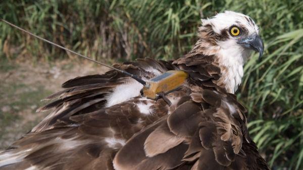 El águila pescadora Amàlia viaja 1.020 kilómetros hasta Portugal