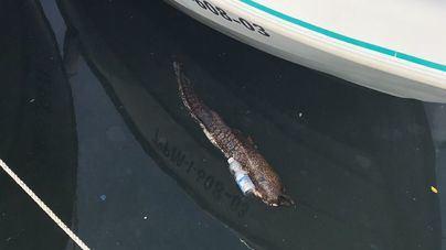 Encuentran una morena muerta flotando en el Puerto de la Colònia de Sant Jordi