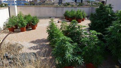 Acuden a una casa de Manacor por un robo y se encuentran con una plantación de marihuana