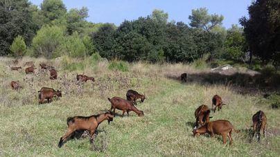 Critican la falta de intervención pública ante la 'plaga' de cabras en la Serra de Tramuntana
