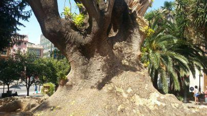 El árbol centenario de la plaza de la Reina de Palma, en peligro por infección