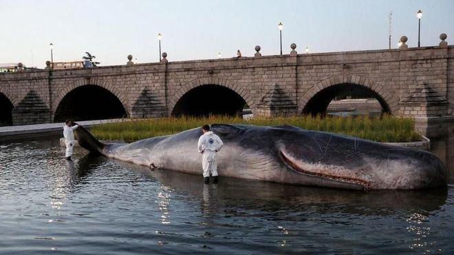"""Un cachalote de pega """"aparece"""" varado en el río Manzanares"""