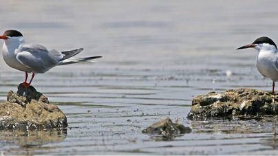 El número de aves acuáticas en la Reserva Natural de s'Albufereta es el más alto de la historia