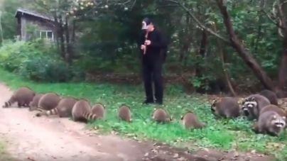 Captan al nuevo flautista de Hamelin: embelesa a mapaches con su música