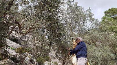 La denominación de Origen Oliva de Mallorca comienza la cosecha