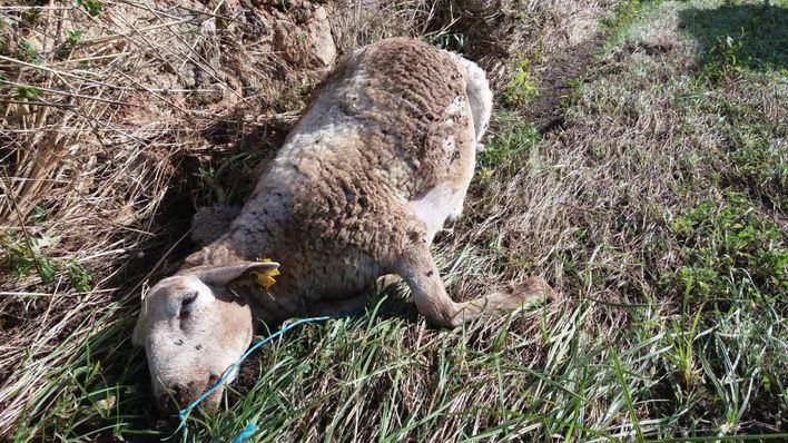 Habilitan un depósito en Son Reus para los animales muertos en la torrentada para su incineración