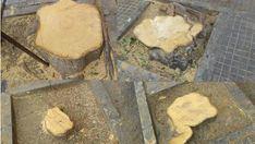 Restos de los árboles de la calle Adrià Ferran