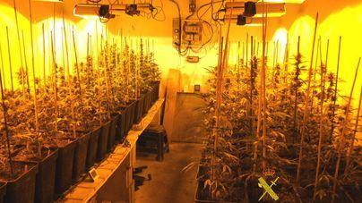 Detenida una pareja en una casa de Porreres con una plantación de 204 plantas de marihuana
