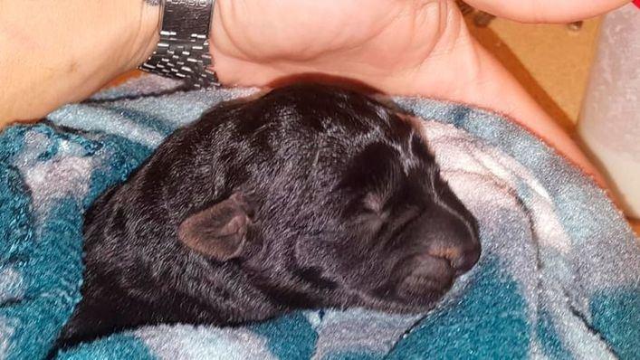 Sant Antoni pide ayuda para dar con quien asfixió y abandonó a 5 cachorros