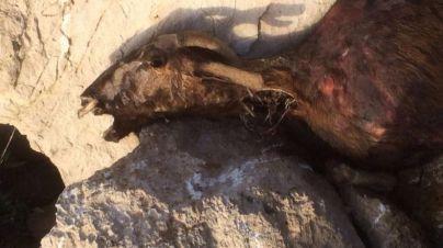 La erradicación fallida de cabras de Es Vedrà fue 'buena para la flora'