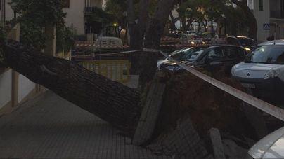 Cae un árbol de grandes dimensiones en la calle del Castillo de Bellver