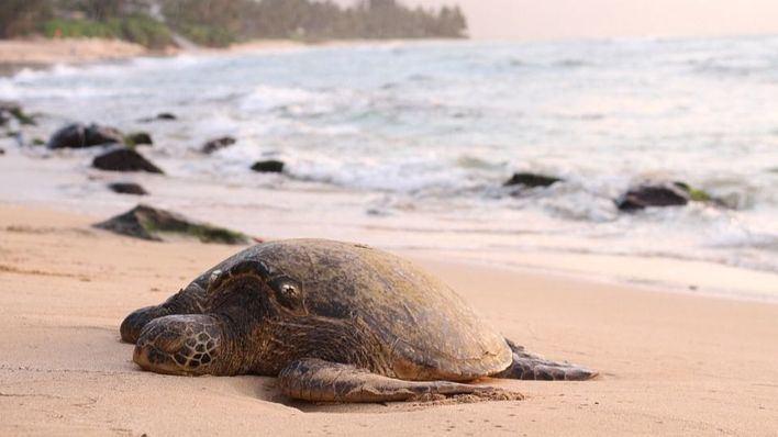 38 tortugas marinas han varado en Baleares este año