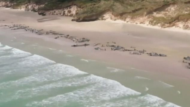 Mueren 150 ballenas piloto al quedar varadas en una bahía de Nueva Zelanda