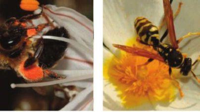 Abejas y avispas, en peligro de desaparición por la pérdida de hábitat en el Llevant mallorquín