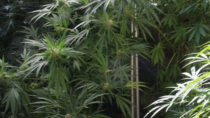 Nueva Zelanda votará en referéndum legalizar el uso recreativo de la marihuana
