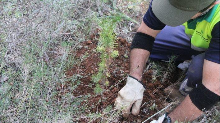 Reforestan el bosque de Bellver con 300 nuevas plantas