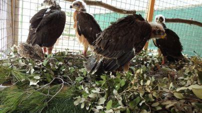 Mallorca duplica la población de águila de Bonelli en cuatro años