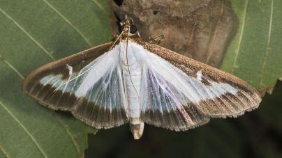 El GOB reclama al Govern que evite la expansión de la mariposa del boj