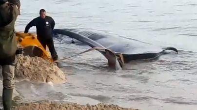 Encuentran una ballena muerta de unos 15 metros de largo en la playa de Cala Millor