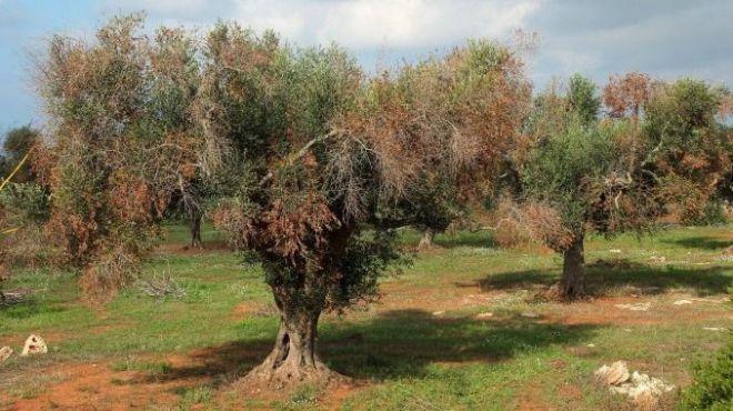 Investigadores plantan variedades de olivo resistentes a Xylella