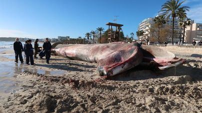 La ballena varada en Cala Millor habrá quedado totalmente retirada este martes al mediodía