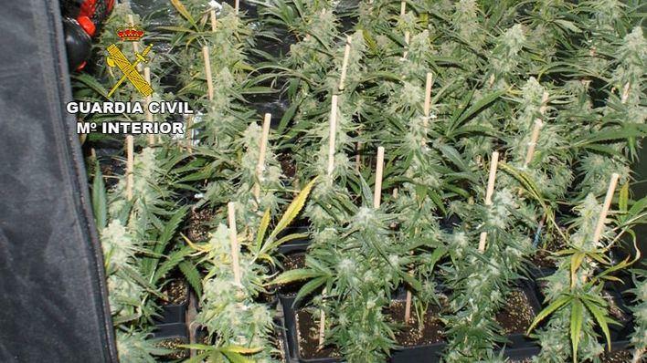 Desmantelada una plantación de marihuana con 135 plantas en un domicilio de Pollença