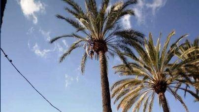 Cort tala árboles en Paseo de Sagrera y Plaza de la Reina por riesgo de caída