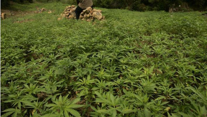 El Govern, a favor de abrir el debate del uso terapéutico del cannabis