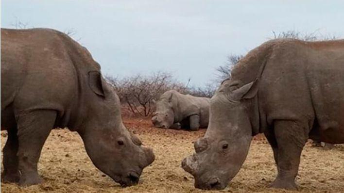 Los furtivos mataron 769 rinocerontes en Sudáfrica en 2018