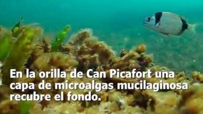 La Bahía de Alcúdia, en riesgo por los vertidos constantes de aguas fecales