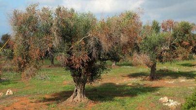 La 'Xylella fastidiosa' afecta a 307 especies del campo de Baleares
