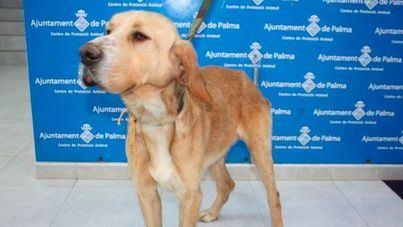 Los animalistas temen que haya un aumento de abandonos con la limitación de Cort