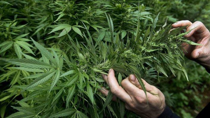 Siete de cada diez lectores están a favor del uso terapéutico del cannabis