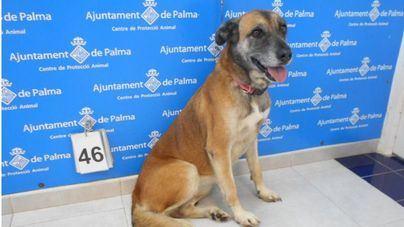 Un total de 30 perros desfilan hoy en Son Reus en busca de una familia