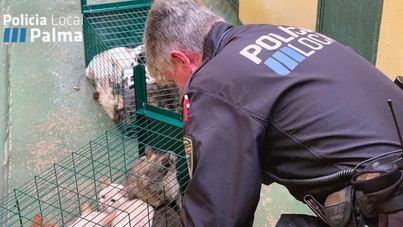 La Policía Local de Palma recoge una veintena de gatos de un desahucio