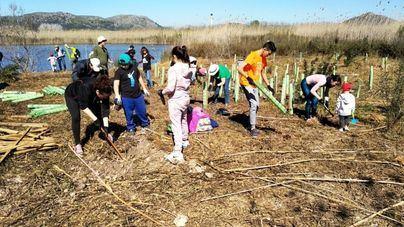 Voluntarios del Gob plantan 90 árboles en s'Albufera