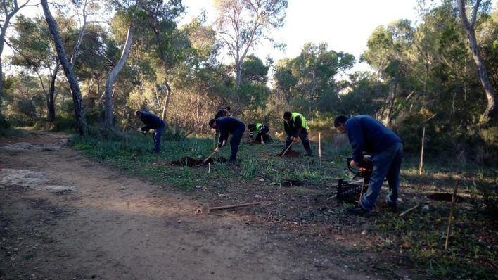 Más de 1.700 árboles y plantas para repoblar el bosque de Bellver y Es Carnatge
