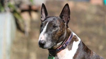 Motivos por los que cada vez hay más Bull Terrier Miniatura en los hogares mallorquines