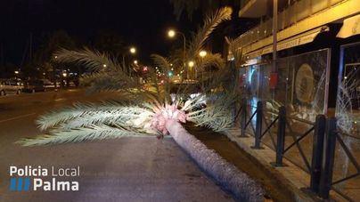 Cae una palmera en el Paseo Marítimo debido al fuerte viento