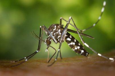Marratxí planta cara al mosquito tigre
